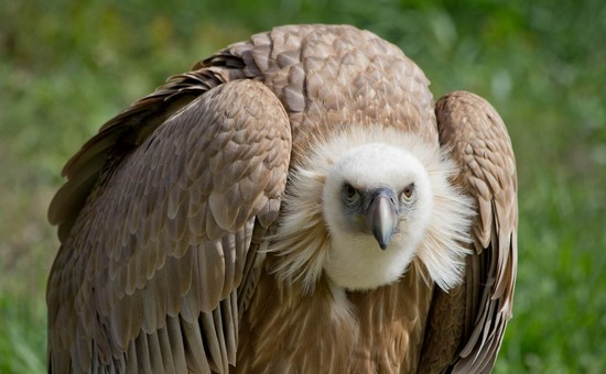 Africa's Vultures