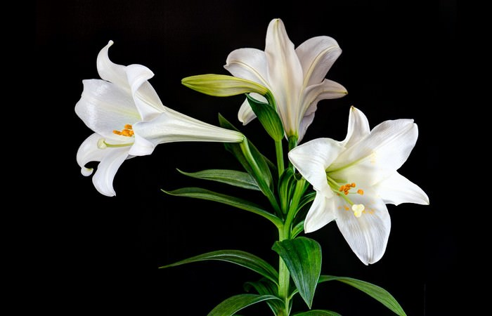 Beautiful Easter Lily Flower