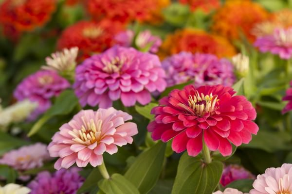 Beautiful Flowers Zinnia