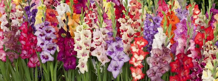 Beautiful flowers Gladiolus