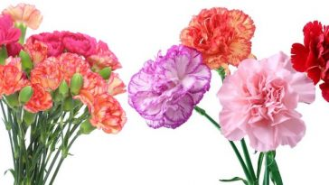 Most Amazing Flowers carnation