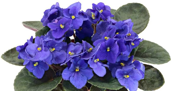 Most Beautiful Violets flowers