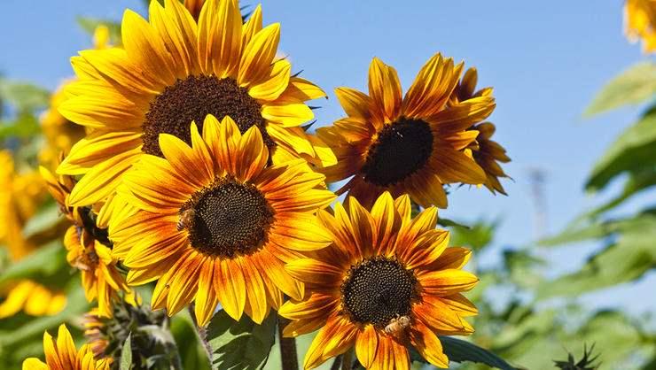 Most beautiful sunflowers