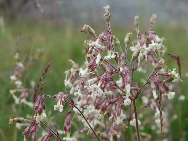 Nottingham Catchfly