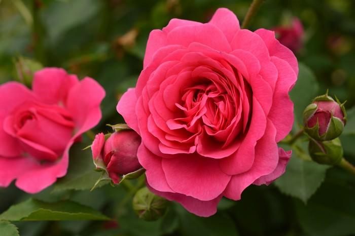 Rose most beautiful flower
