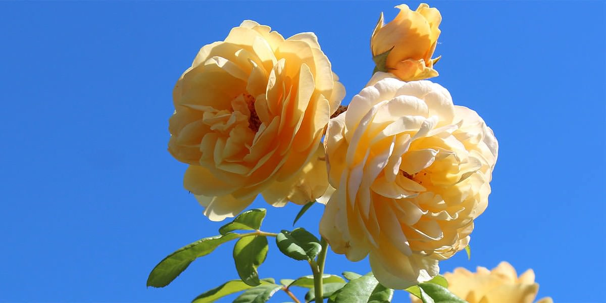Beautiful Rose Flowers Top 10 Most Beautiful Roses