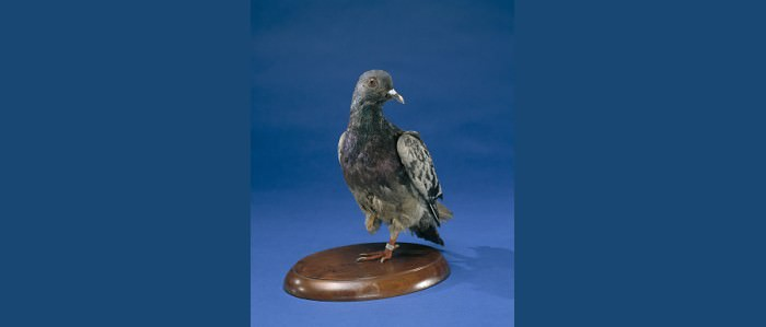 Cher Ami, a carrier pigeon