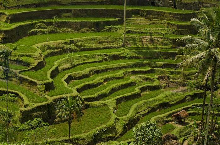 Jatiluwih or Tegallalang Rice Terraces