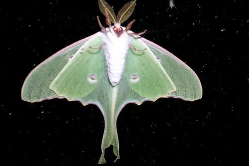 Luna Moth's feelers
