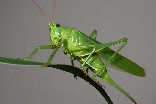 The long-horned grasshopper