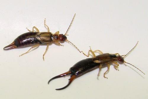 forficulidae male and female earwigs