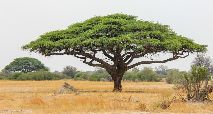 Acacia trees of South Africa