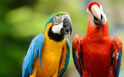 Blue and yellow Macaw longest living animals