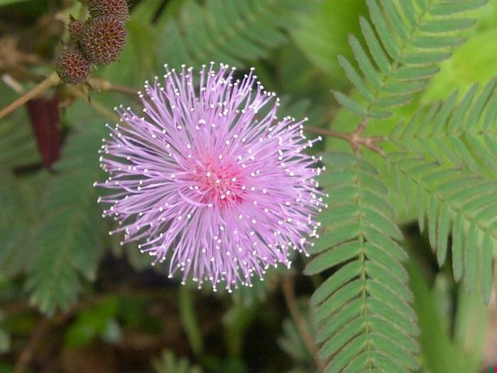Mimosa Pudica