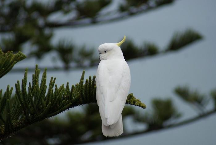 Cockatoo Smartest Bird Species