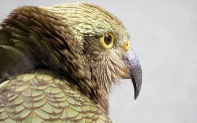 Kea Smartest Bird Species