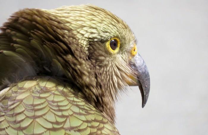 Kea Smartest Bird Species