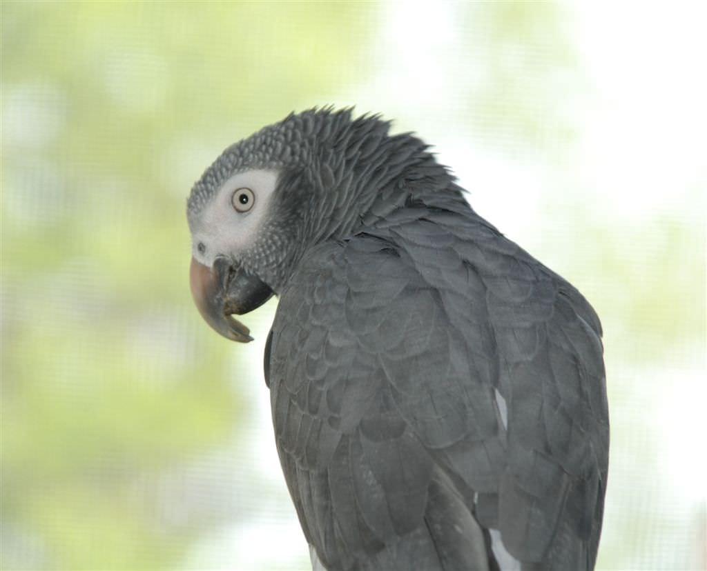 Smartest Bird Species African Greys