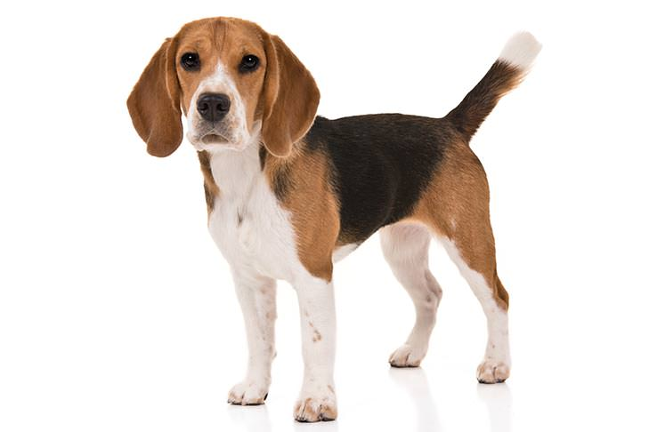 Beagle-Best Family Dog