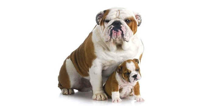 Best Family Dog - British Bulldogs