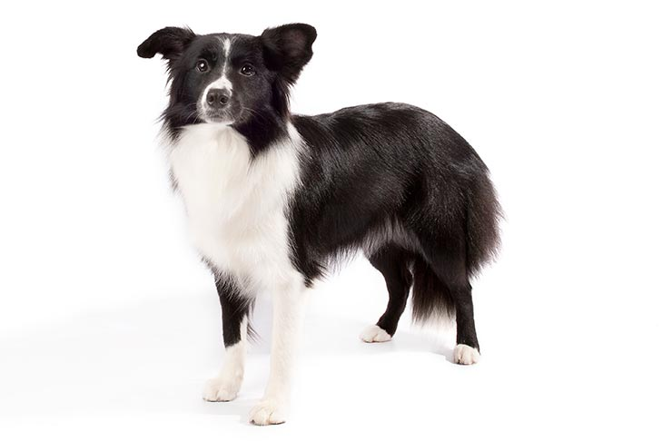 Border Collie-Best Family Dogs