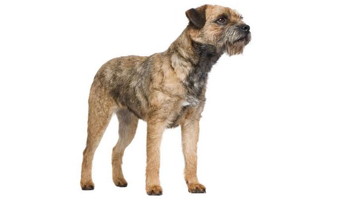 Border Terrier - Best Family Dogs