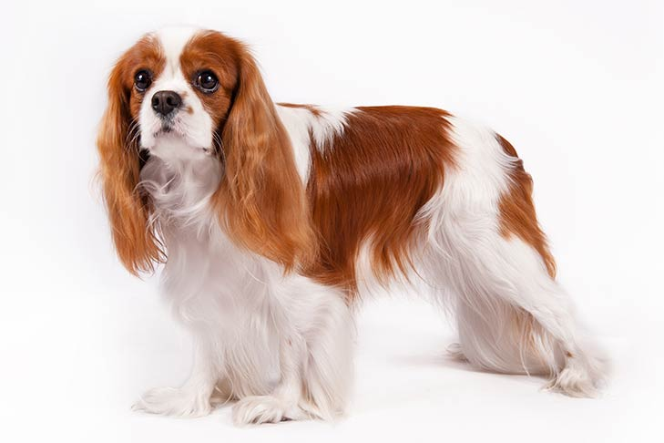 Cavalier King Charles Spaniel Best Family Dogs