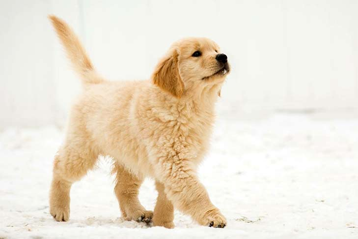 Golden Retriever Puppy Best Family Dogs
