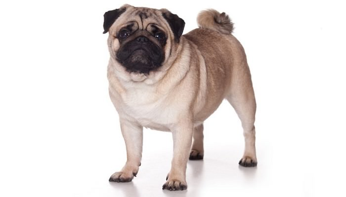 Pug Family Dog Breeds
