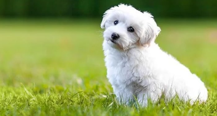 Bichon Frise Smallest Dog Breeds