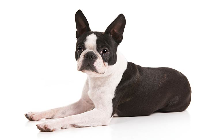 Boston Terrier Smallest Dog Breeds