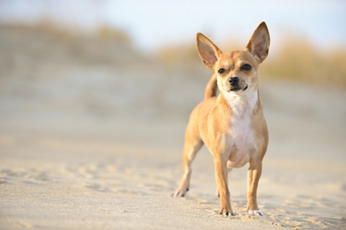 Chihuahua Smallest Dog Breeds