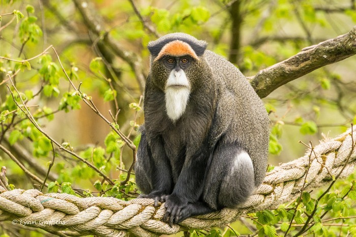 De Brazza's Monkey most expensive animals