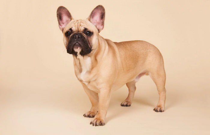 French Bulldog Smallest Dog Breeds