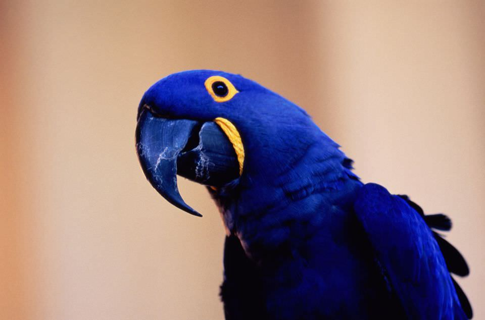 Hyacinth Macaw most expensive animals