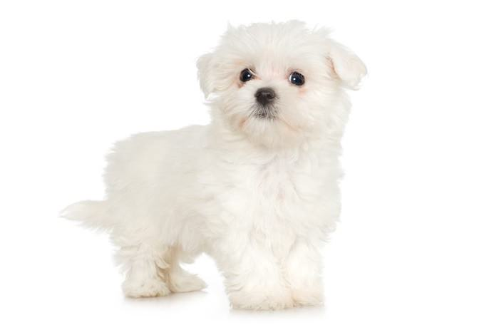 Maltese Smallest Dog Breeds