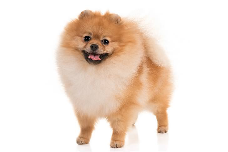 Pomeranian Smallest Dog Breeds