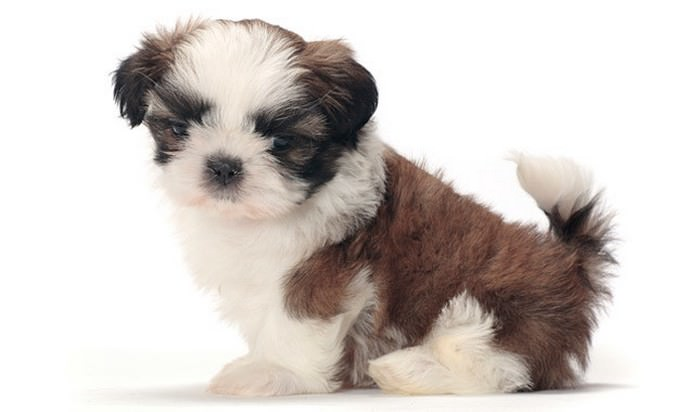 Shih Tzu Smallest Dog Breeds