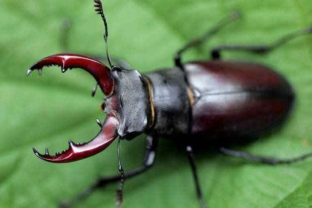 Stag Beetle most expensive animals