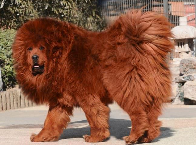 Tibetan Mastiff most expensive animals