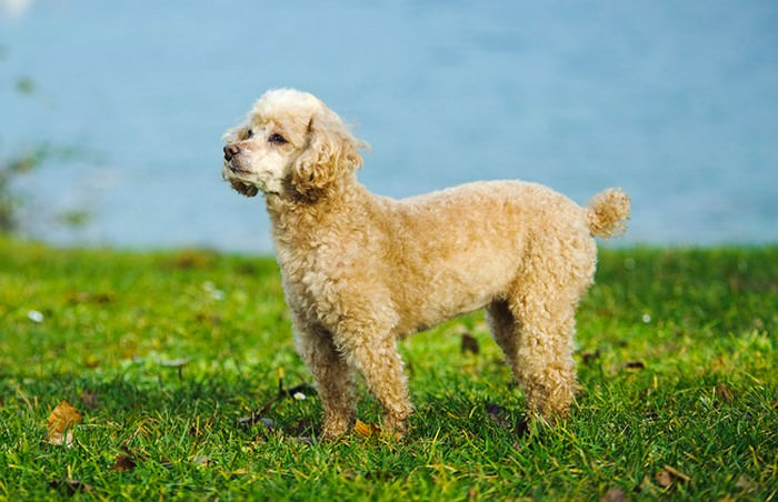 Toy Poodle Smallest Dog Breeds
