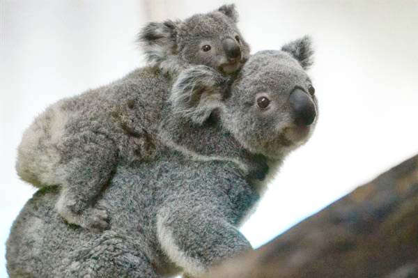 Koala 10 Most Devoted Animal Moms