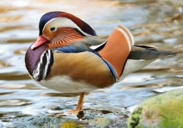 most beautiful and unusual ducks