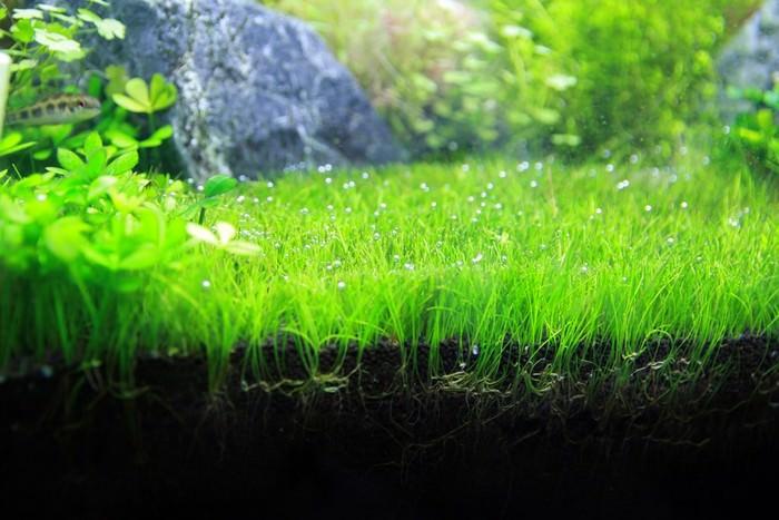Dwarf Hairgrass Best Aquarium Plants
