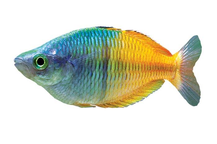 Rainbow Best Aquarium Fishes
