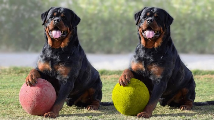 Rottweiler Trainable Family Dog Breeds