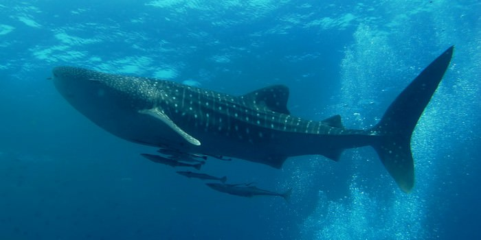 great whale shark