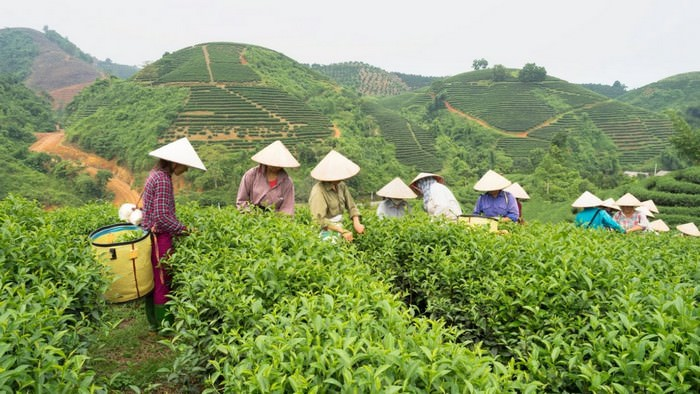 Top 10 Tea producing countries in the world