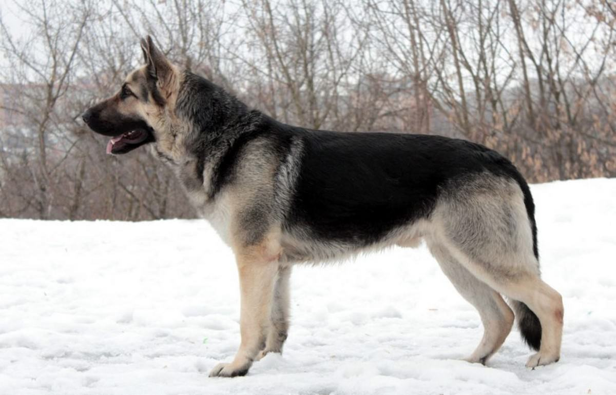 Byelorussian or East European Shepherd