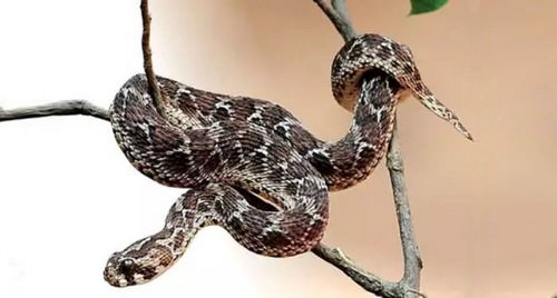 Indian Saw-Scaled Viper